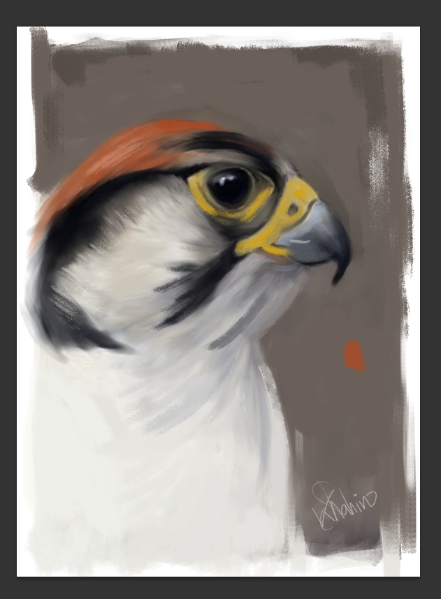 Arabian Falcon